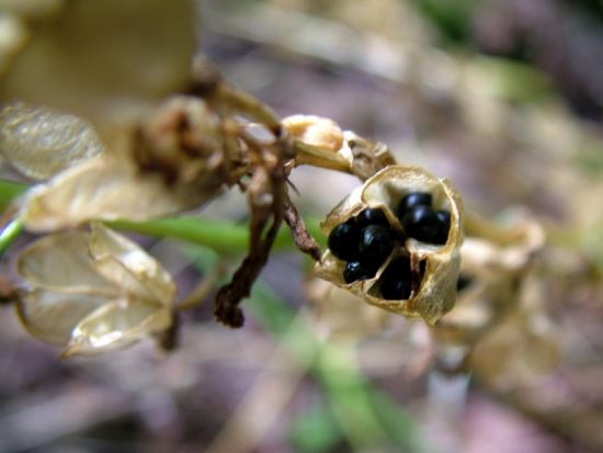 Bluebell seeds