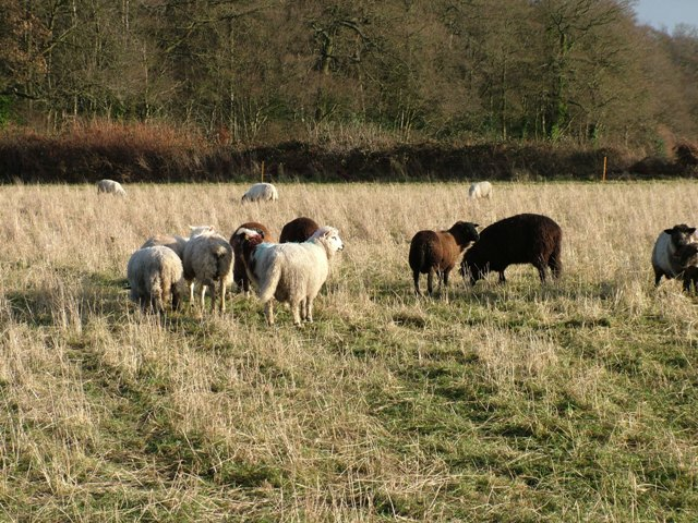 Holmer Green - Sheep in Colemans Field Stuart King - image (2) - Copy