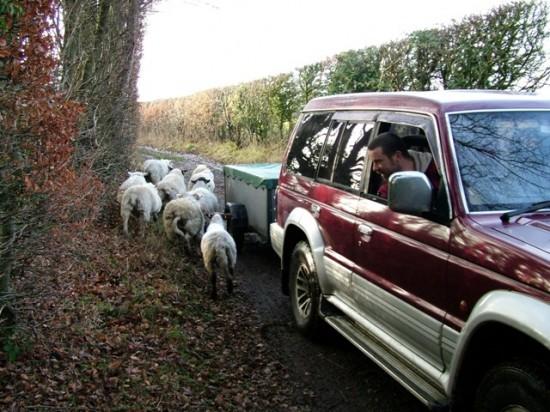 Holmer Green - Sheep in King Street lane -