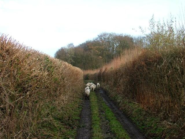 Holmer Green - Sheep in King Street lane - Stuart King - image (4) - Copy