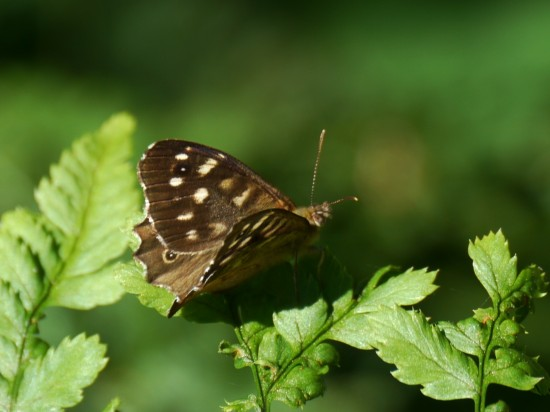 Speckled Wood Butterfly, Stuart King image, Aug 2013 (2)