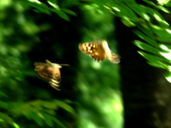 Speckled Wood butterflies dancing  in Colemans Wood, Stuart King image, July 2013