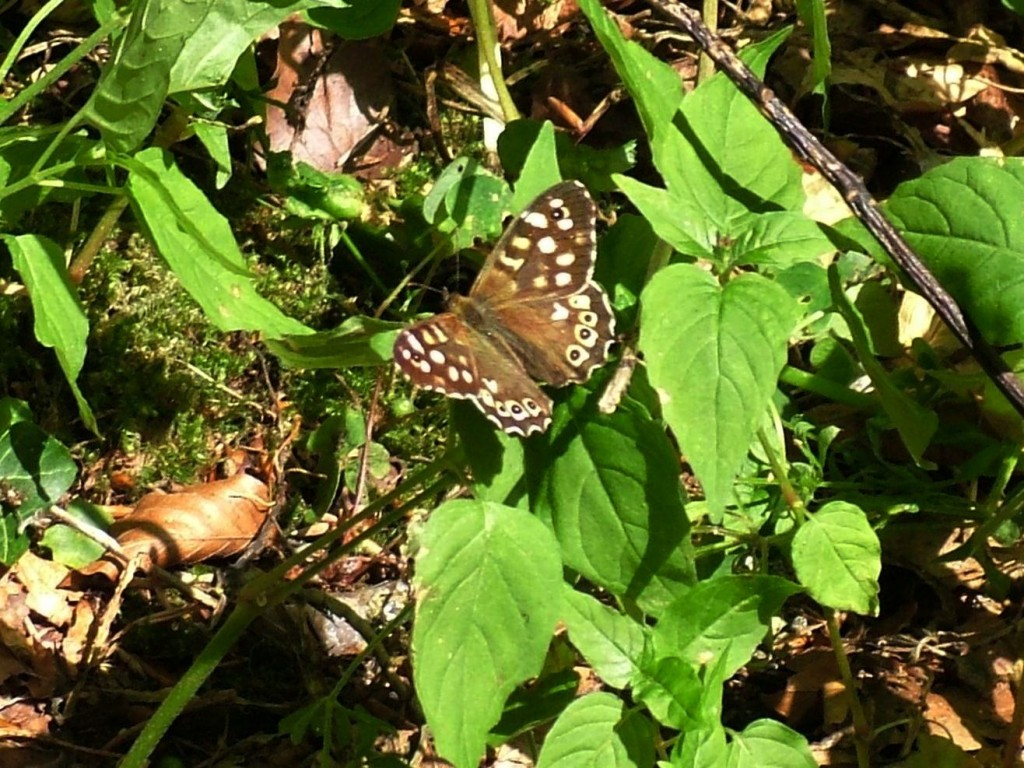 Speckled Wood butterfly in Colemans Wood, Stuart King image, July 2013