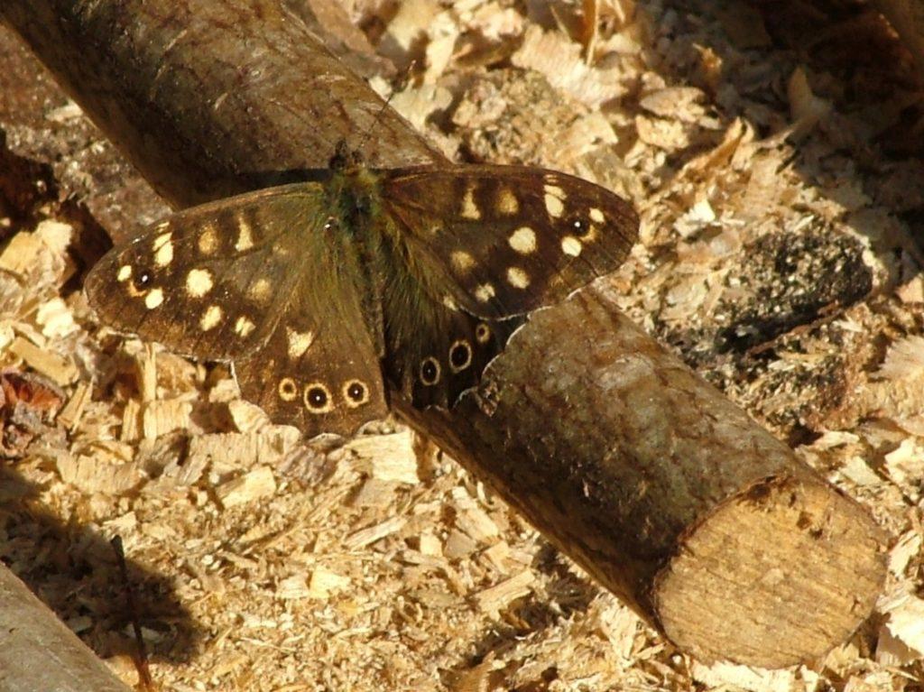 Speckled Wood,Butterfly, Stuart King