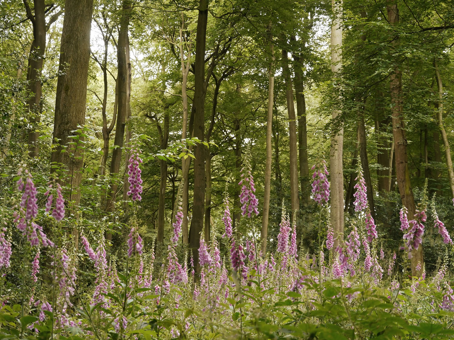 Foxgloves apear in abundance for a couple of years after tree thinning having lain dormant for decades