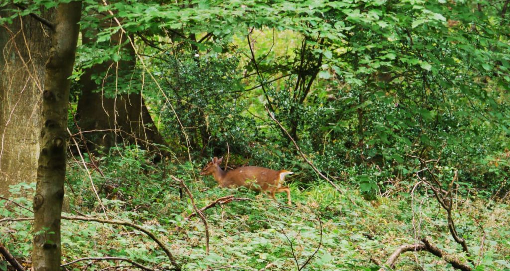 The Wildwood Muntjac deer are often seen in daytime or heard close by barking loudly to others